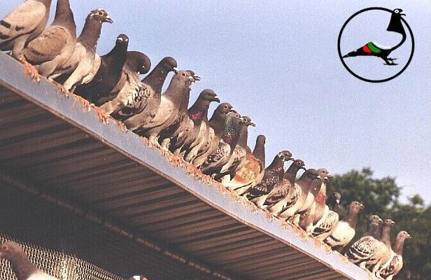 Как пощенските гълъби знаят къде да отидат