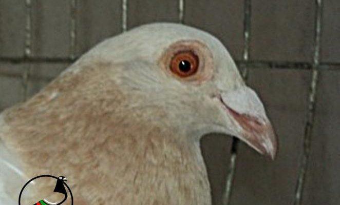 Гълъб хванат за употреба на допинг