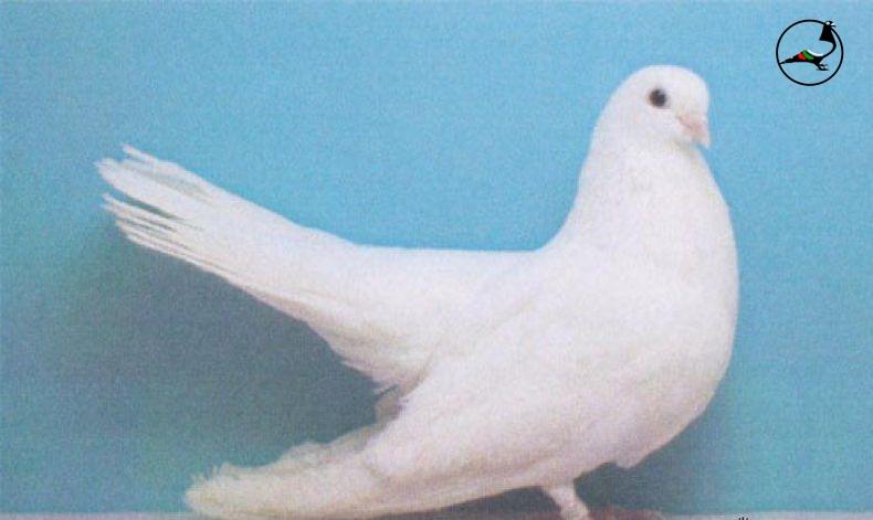 Старозагорски бял летач