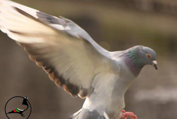 Как в Ню Йорк се справят с проблема с гълъбите