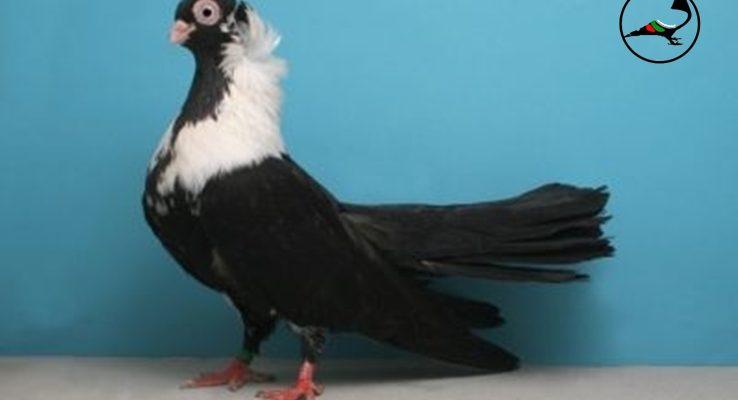 Шуменски гълъб