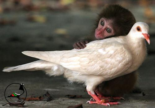 Гълъбите съперничат на маймуните в уменията по абстрактно броене