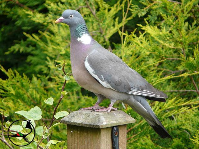 Градински гълъби в Лондон