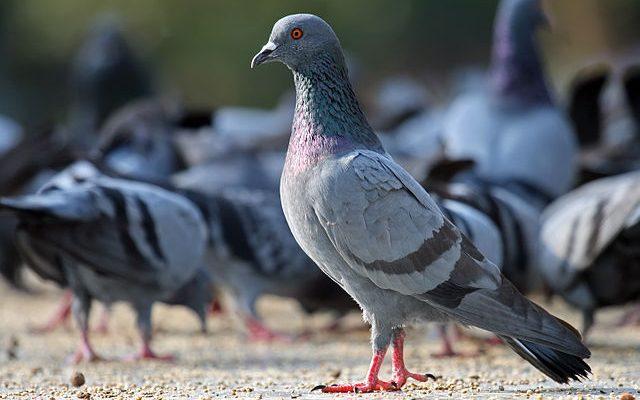 Любопитни факти за лондонските гълъби