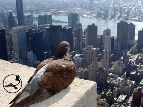 Защо гълъбите се губят в Ню Йорк