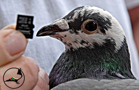 Обучен гълъб не иска вкъщи, а в бара