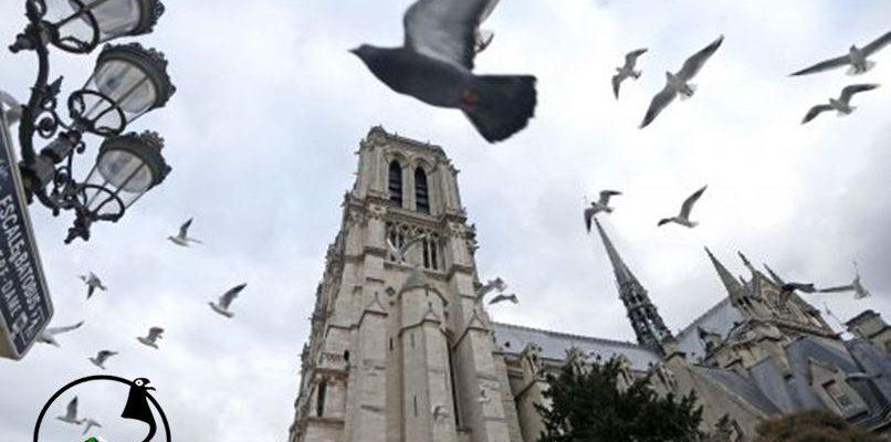 Нова професия във Франция – удушвач на гълъби