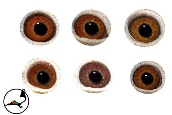 Очите на спортните гълъби