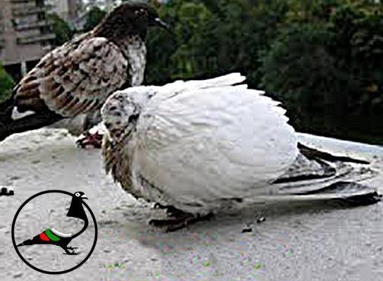 Какво причиняват външни паразити по гълъбите