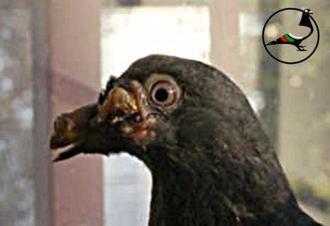 Гълъбена шарка