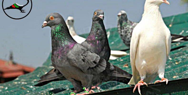 Обезпаразитяване срещу външни паразити по гълъбите