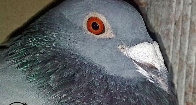 Търсят откраднат гълъб за 150 000 евро