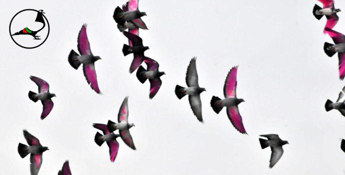 Как се отглеждат спортни гълъби