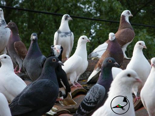 Холандски гълъб удари рекорд с цената си