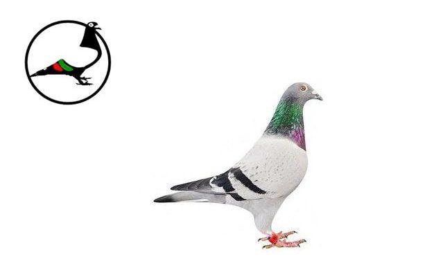 Състезателен гълъб за 310 000 евро